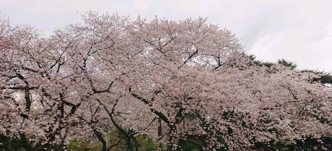 新宿御苑の桜@4月1日